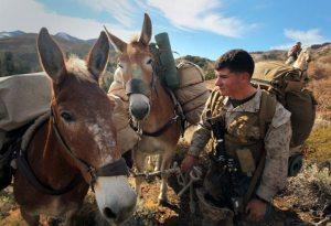 Marine-Corps-Mule