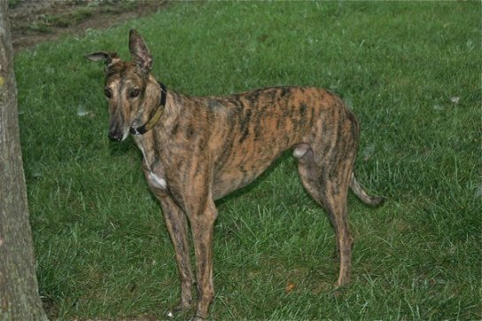 #Greyhound #dog #redbrindle