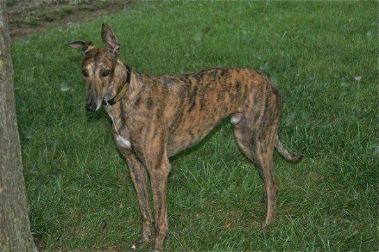 #Greyhound #dog #redbrindle