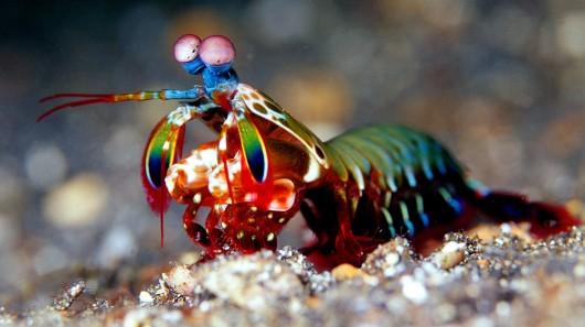 mantis shrimp most powerful force