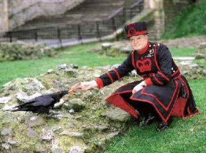 Ravenmaster Derrick Coyle cares for one of his special charges.