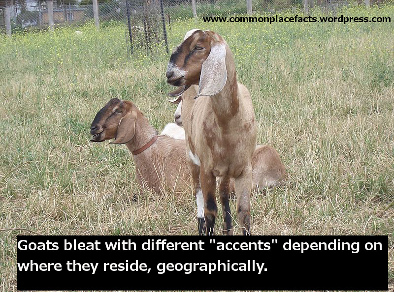 goats accents language