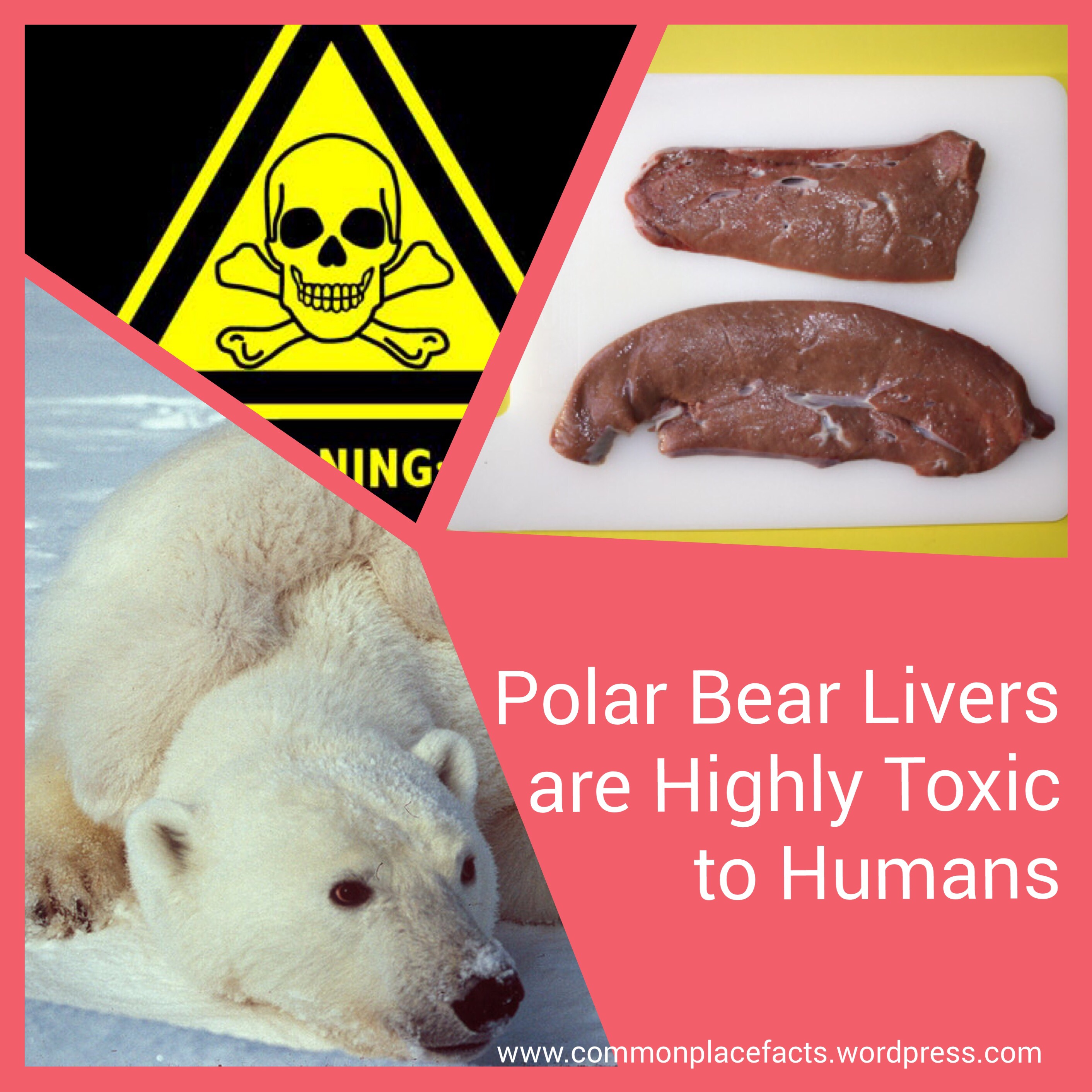 polar bear livers highly toxic vitamin a