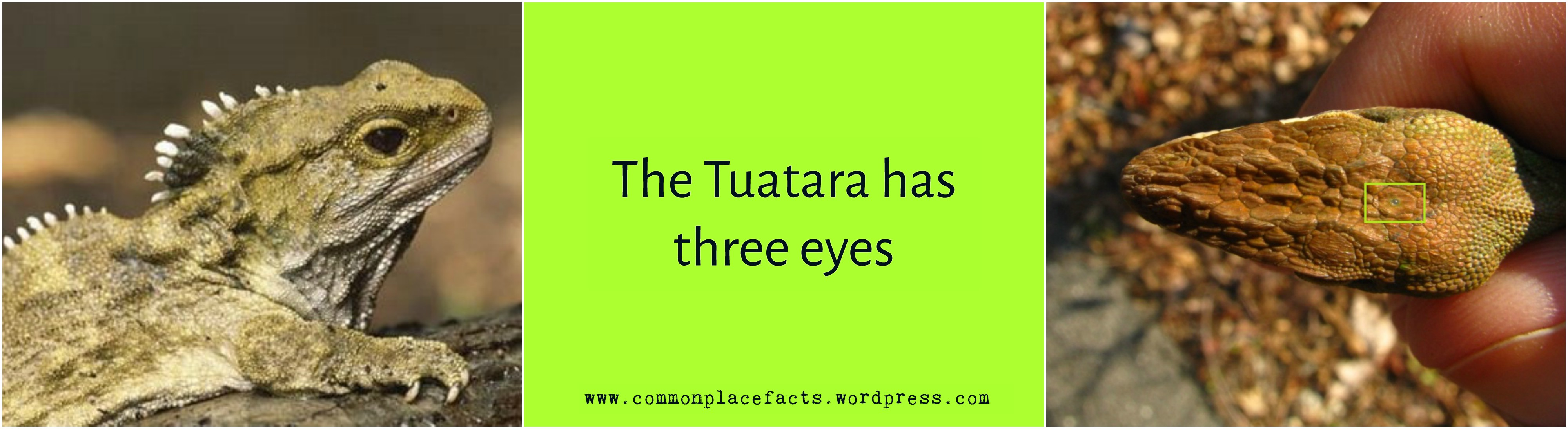 tuatara has three eyes