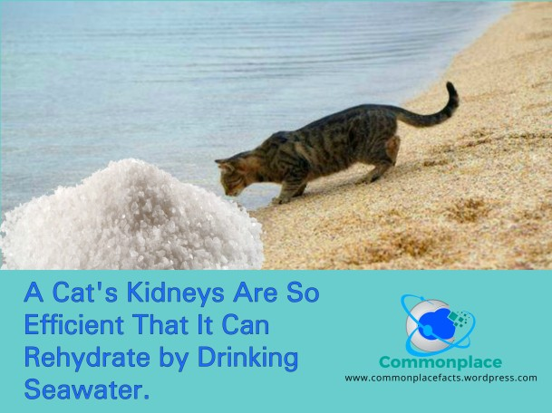 Cat's Kidneys are so efficient that it can rehydrate by drinking seawater
