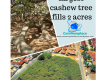 #cashewtree #largesttree #trees #nature #funfacts
