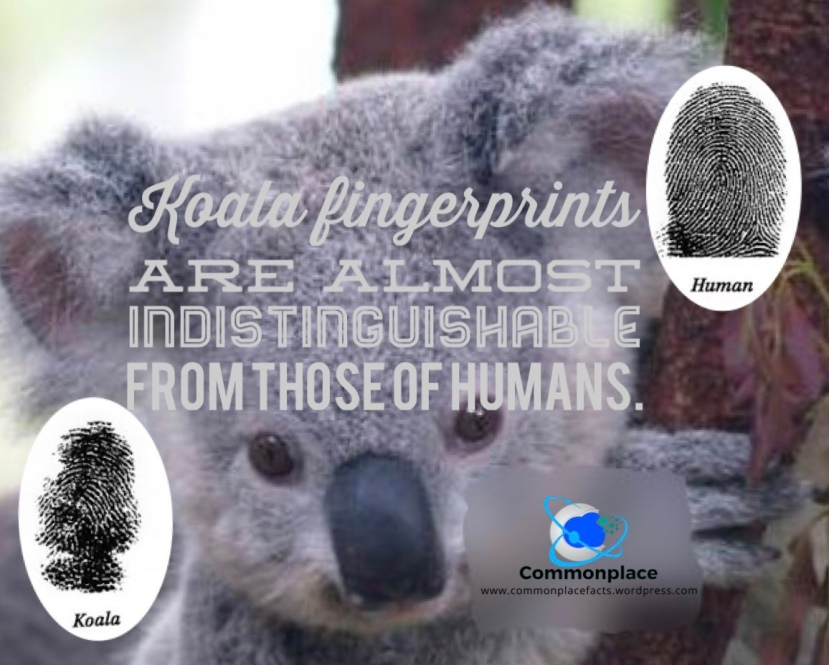 #koalas #fingerprints #forensicscience