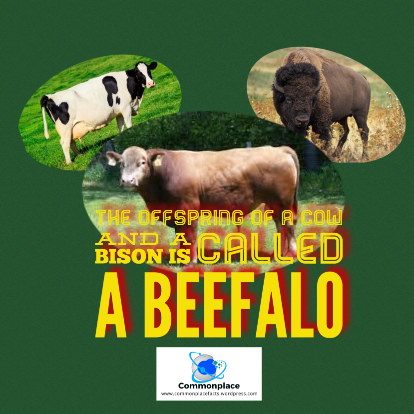 #Beefalo #Cows #bison #hybrids #cattle