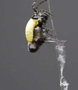 The mind-controlled orb spider, building extra-strong webbing for the eventual use of its host.