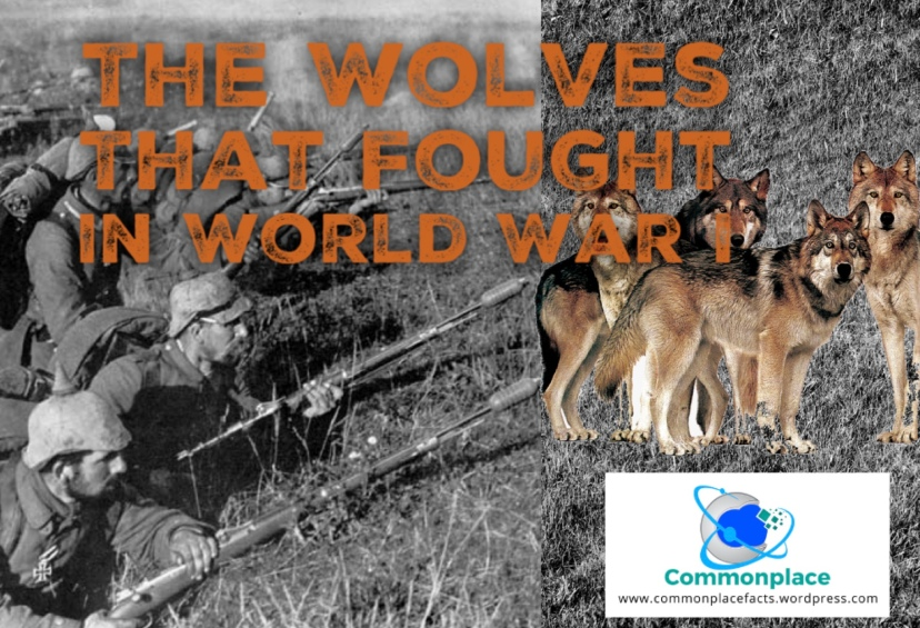 The #wolves that fought in World War I #WWI