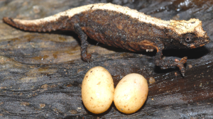 Brookesia micra and eggs