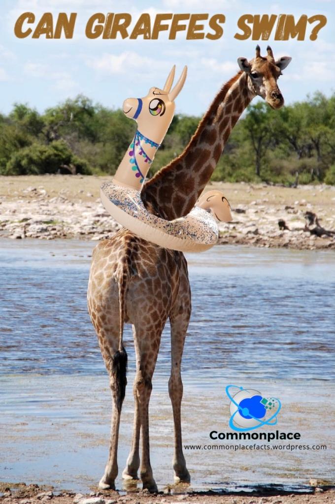 Can giraffes swim?